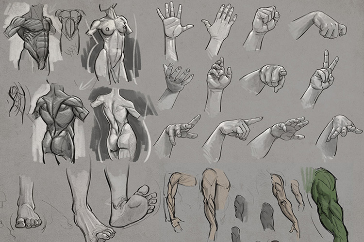 Anatomy Courses For Artists: Best Online Courses To Study Human ...