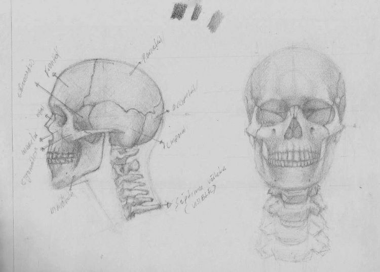 Human skull and neck drawing