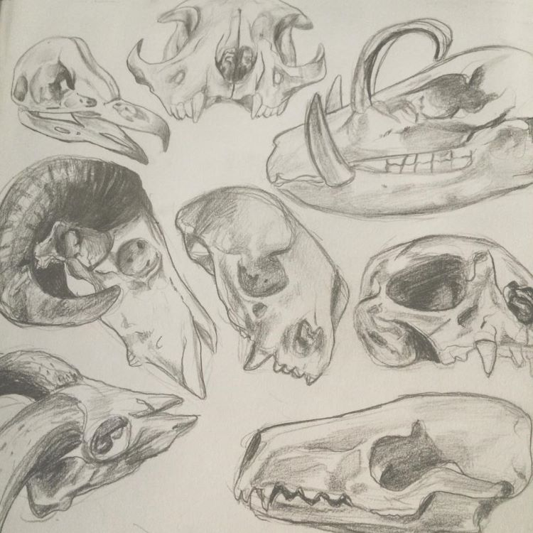 Sketching desert animal skulls